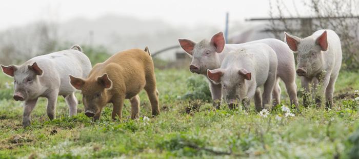 Court-decision-pig-farm